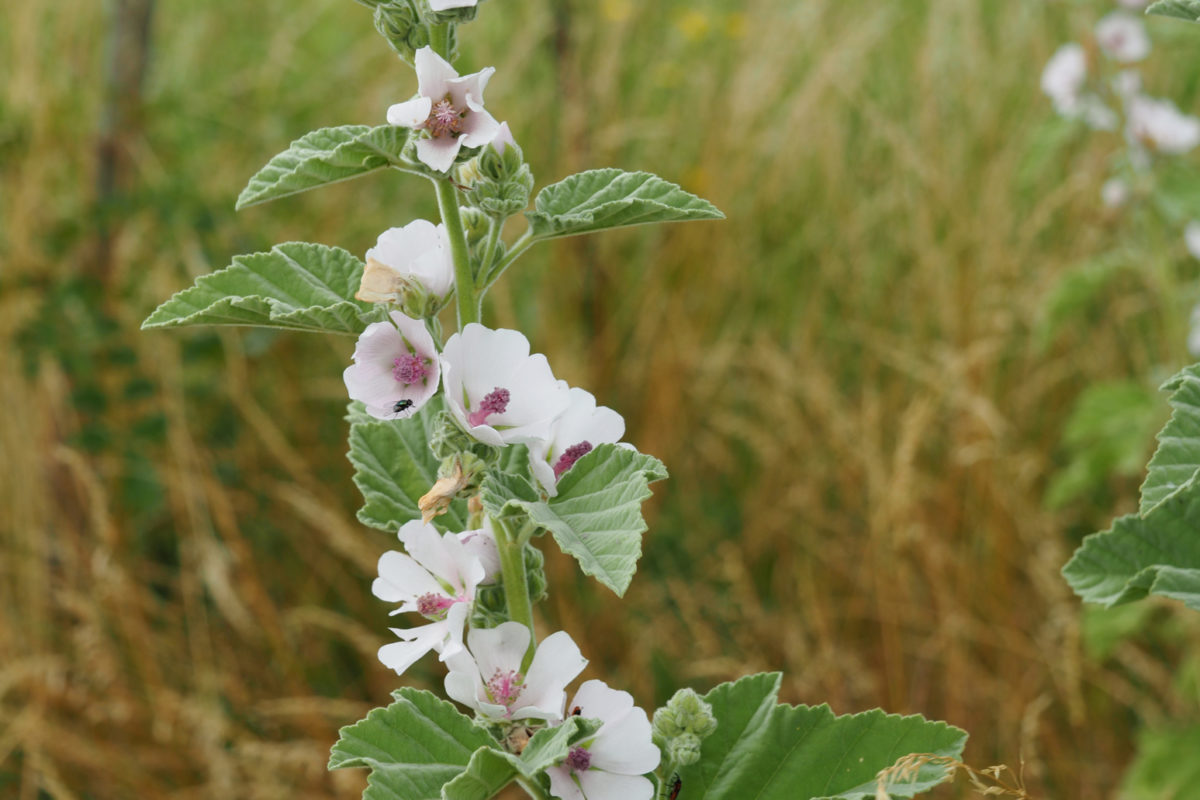 Guimauve officinale