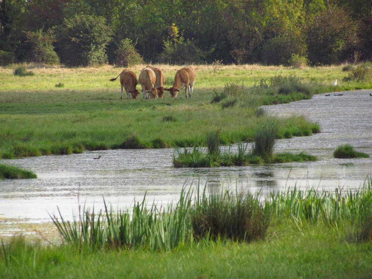 Vaches dans les prairies humides du Marais Poitevin